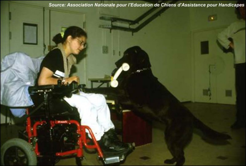 A dog assists a disabled person