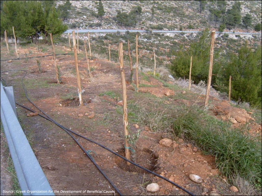 The reforestation on the Penteli mountain