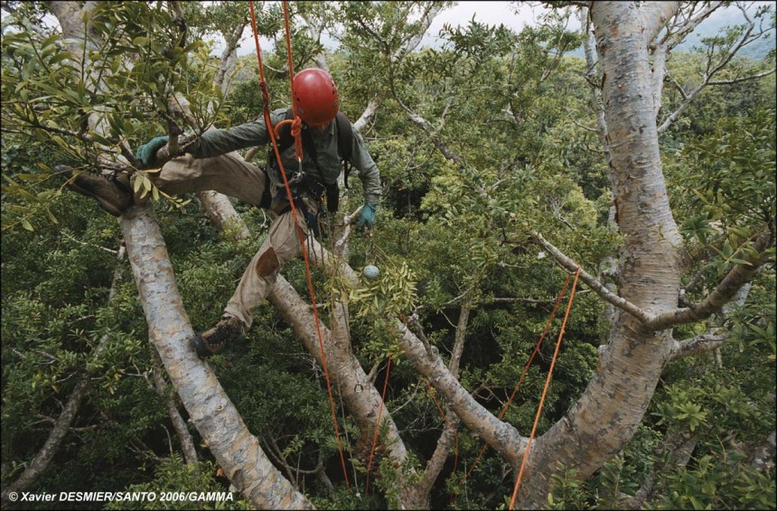 "Module ""Forests, Mountains and Rivers"". Jean-Yves Serein collects a Kaori fruit from 30 metres above ground and at an al"